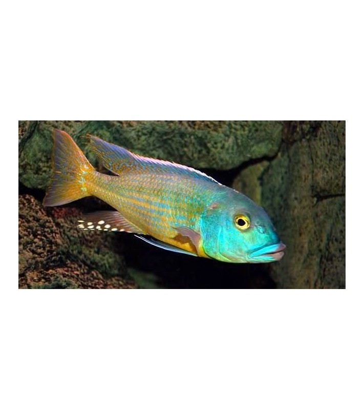 Buccochromis lepturus