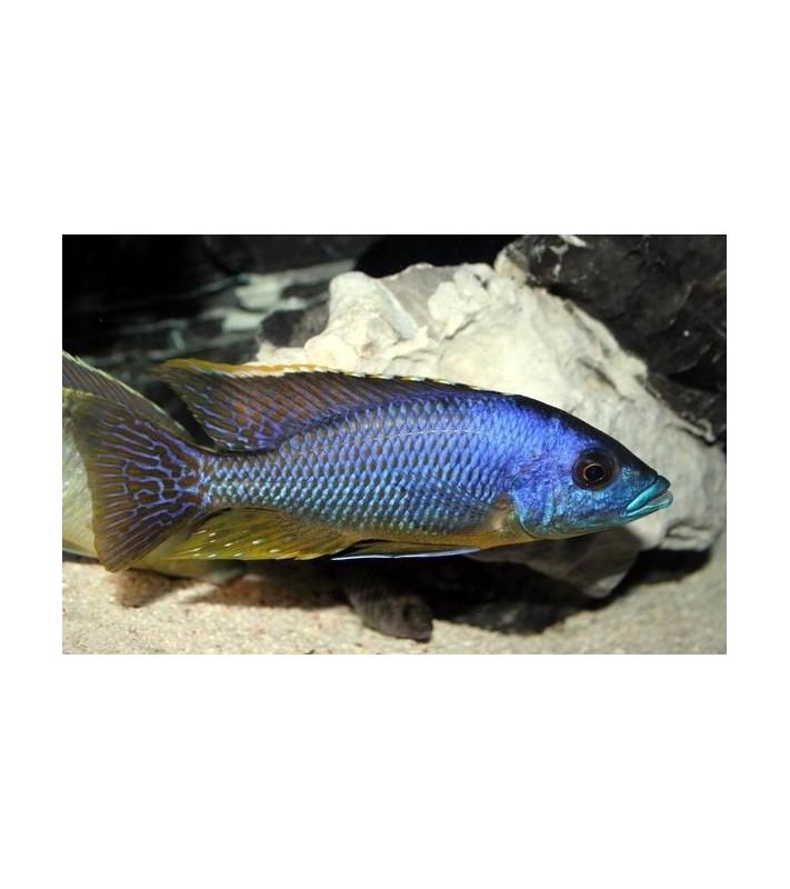 Eclectochromis lobochilus hertae