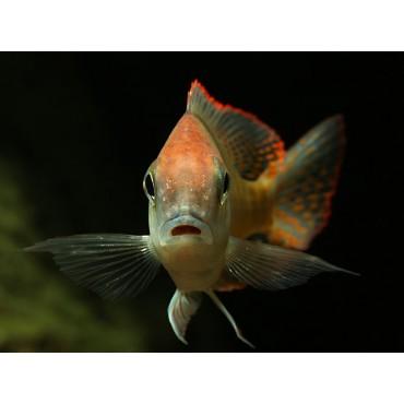 Lethrinops microstoma red cap Mazinzi Reef
