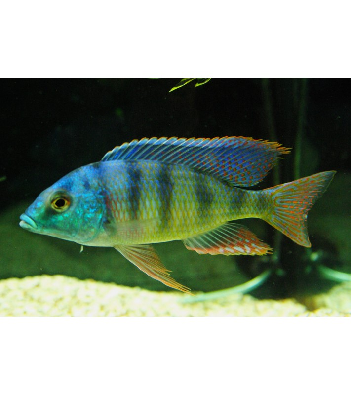 Mylochromis sp. green face