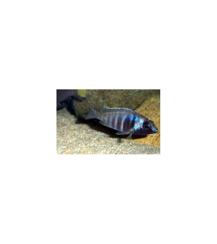 Placidochromis electra black chin Mozambique