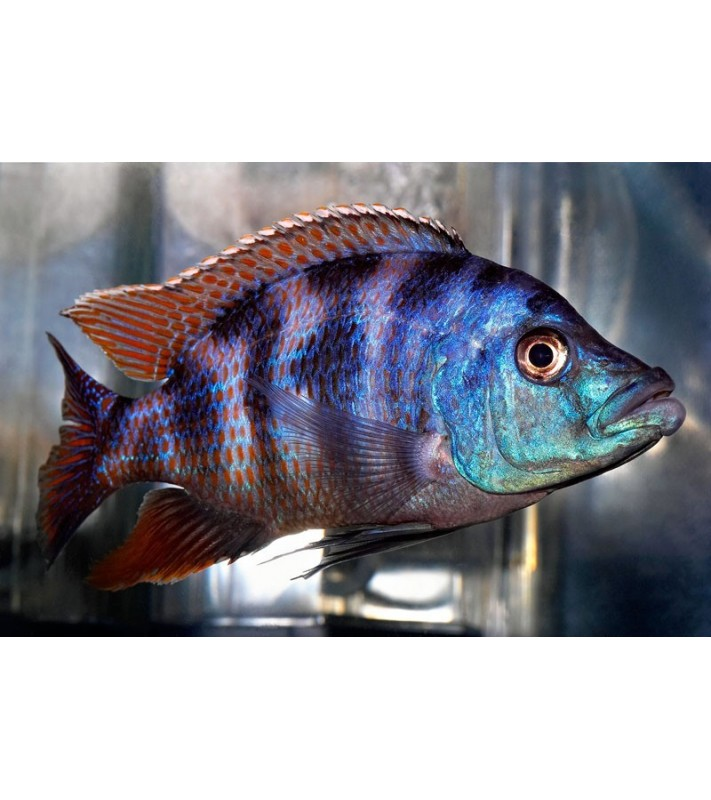 Placidochromis milomo red