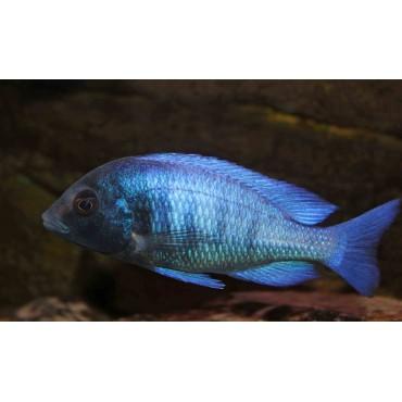 Placidochromis phenochilus Gissel