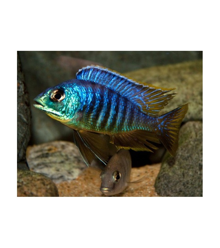 Placidochromis sp. Jalo Reef