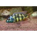 Placidochromis sp. johnstoni Solo
