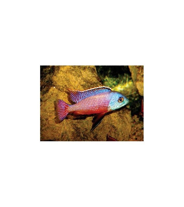Protomelas taeniolatus Boadzulu red