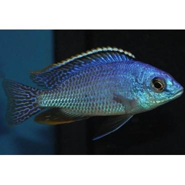 Protomelas taeniolatus fire blue