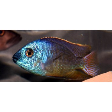 Protomelas taeniolatus Mazinzi Reef