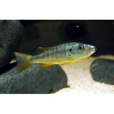 Rhamphochromis cf. esox yellow fin