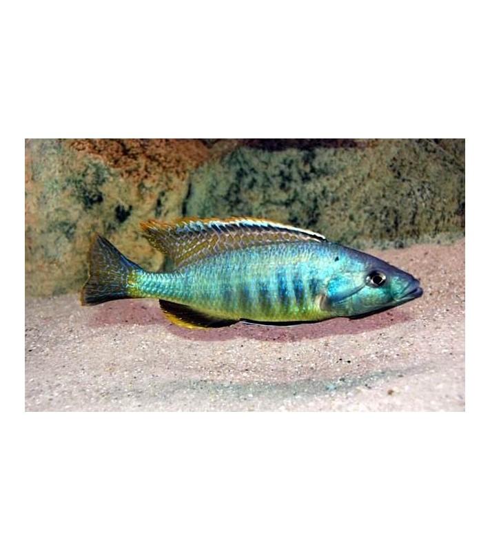 Sciaenochromis gracilis