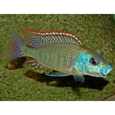 Tramitichromis intermedius Tanzania