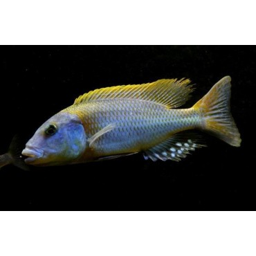 Buccochromis rhoadesi yellow