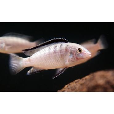 Labidochromis caeruleus white Nkali