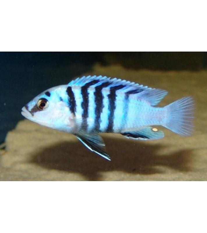 Labidochromis chisumulae Chizumulu