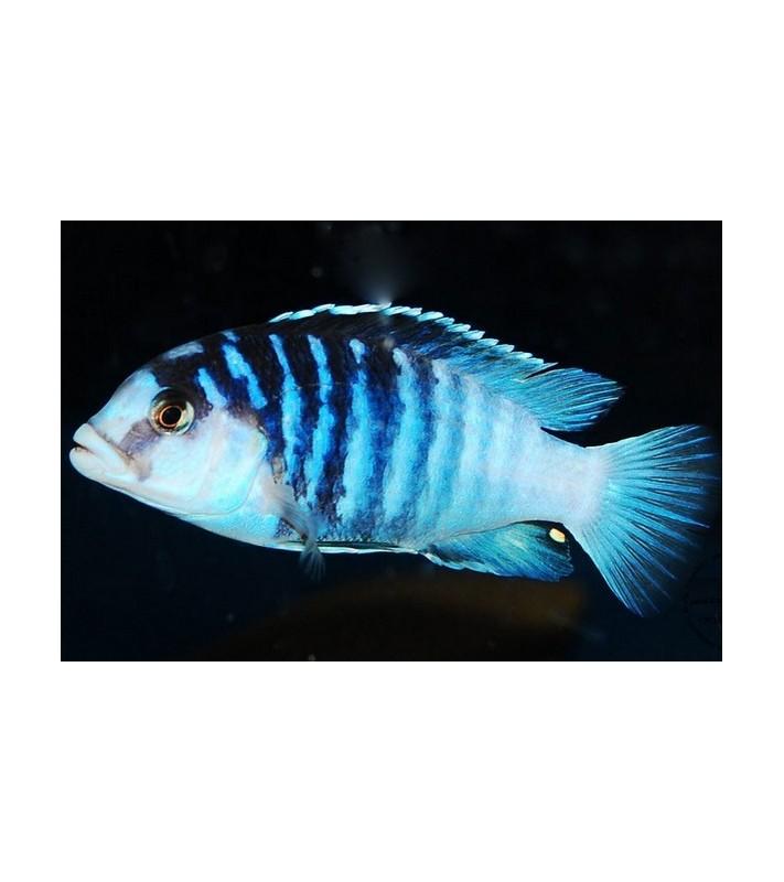 Labidochromis chisumulae Mbweca