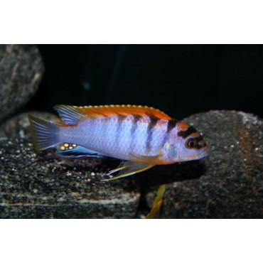 Labidochromis sp. Hongi super red