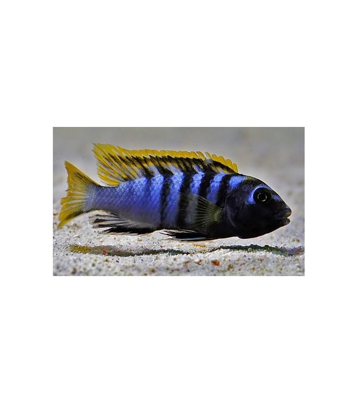 Labidochromis sp. Mbamba Bay