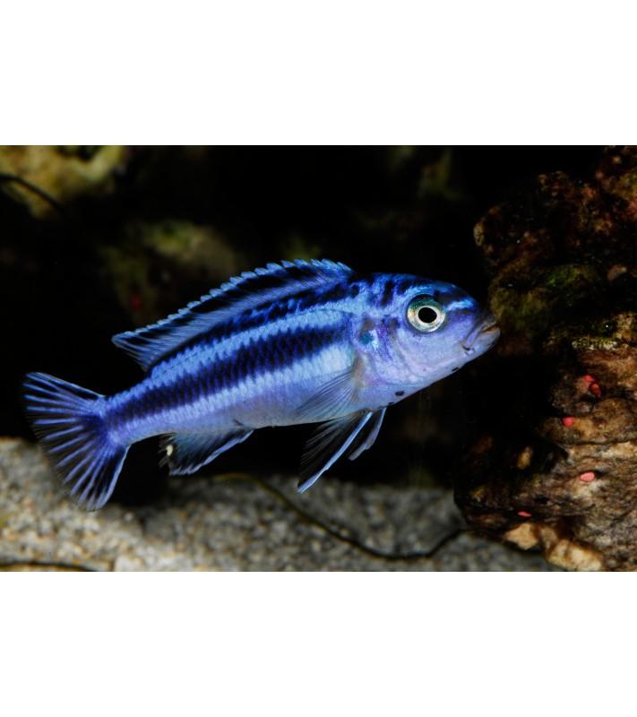 Melanochromis maingano