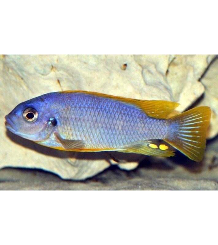 Petrotilapia sp. Chitimba thick bars