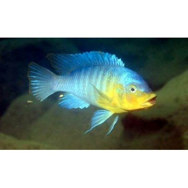 Petrotilapia sp. yellow chin Chewere