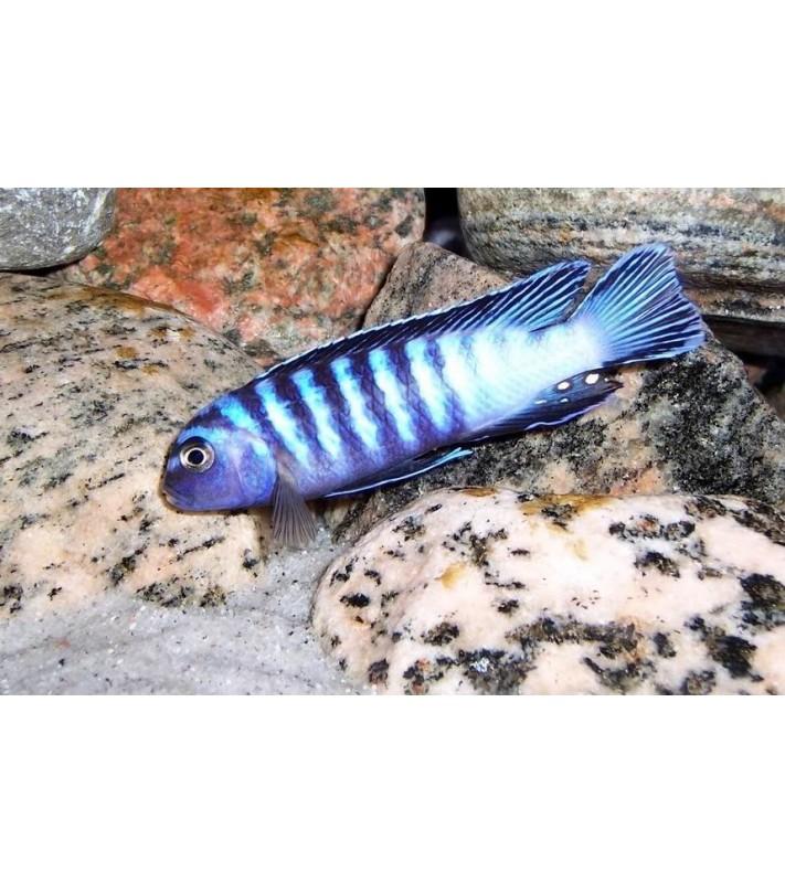 Pseudotropheus elongatus ornatus Likoma