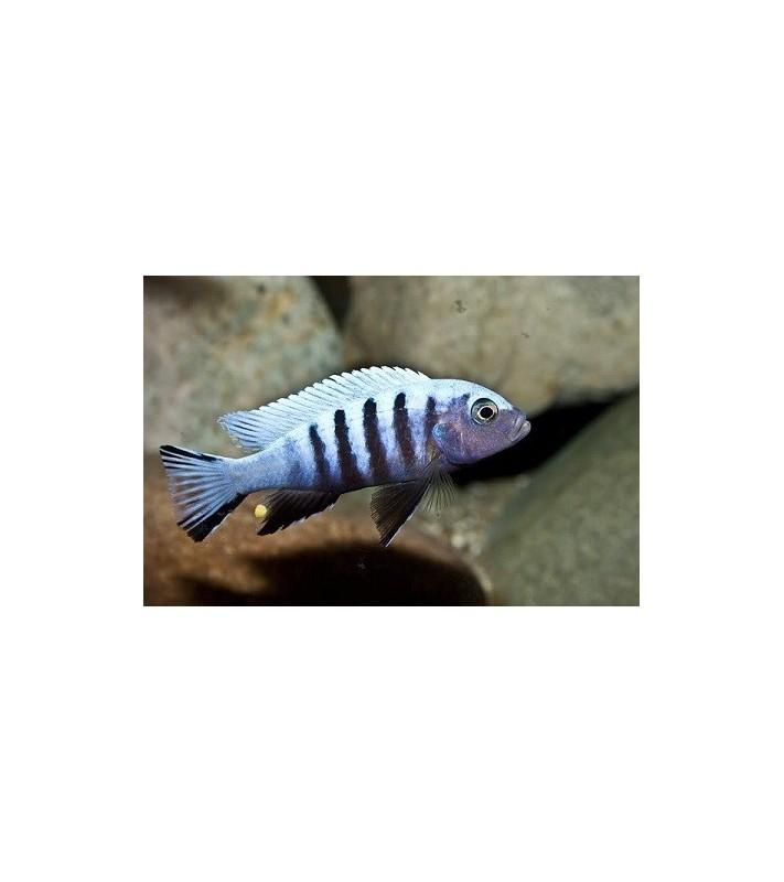 Pseudotropheus kingsizei Maingano
