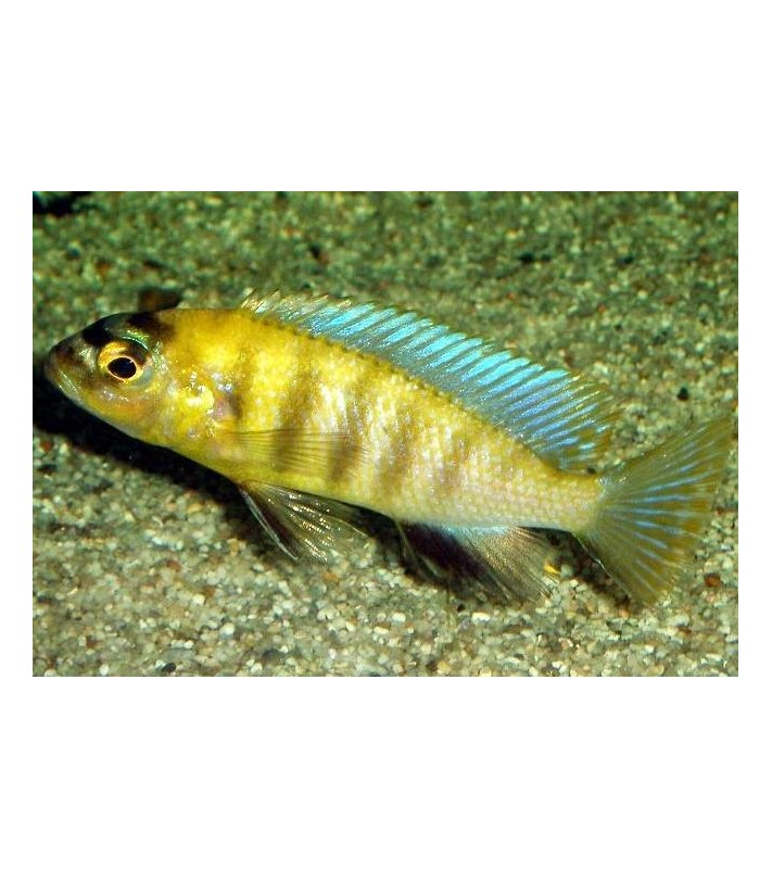 Gephyrochromis patricki Mbenji Island