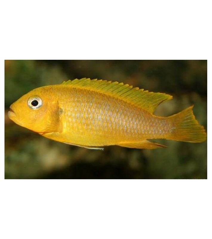 Pseudotropheus sp. Lime Nkhomo