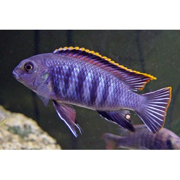 Pseudotropheus tropheops Chilumba orange