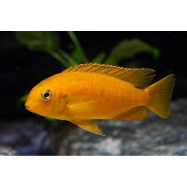 Pseudotropheus tropheops Chilumba orange