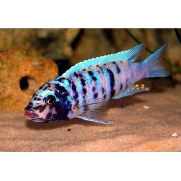 Pseudotropheus zebra Slim