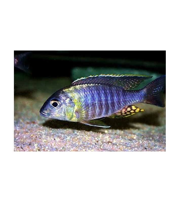 Aulonocara sp. Chitande Mazinzi Reef