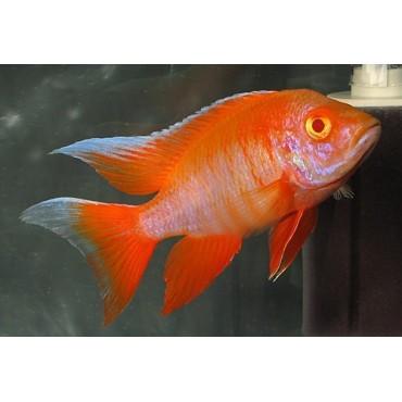 Aulonocara sp. Eureka Albino