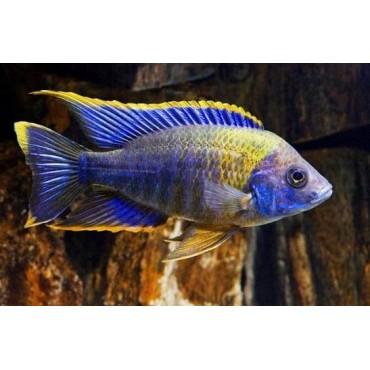 Aulonocara sp. Lwanda yellow top