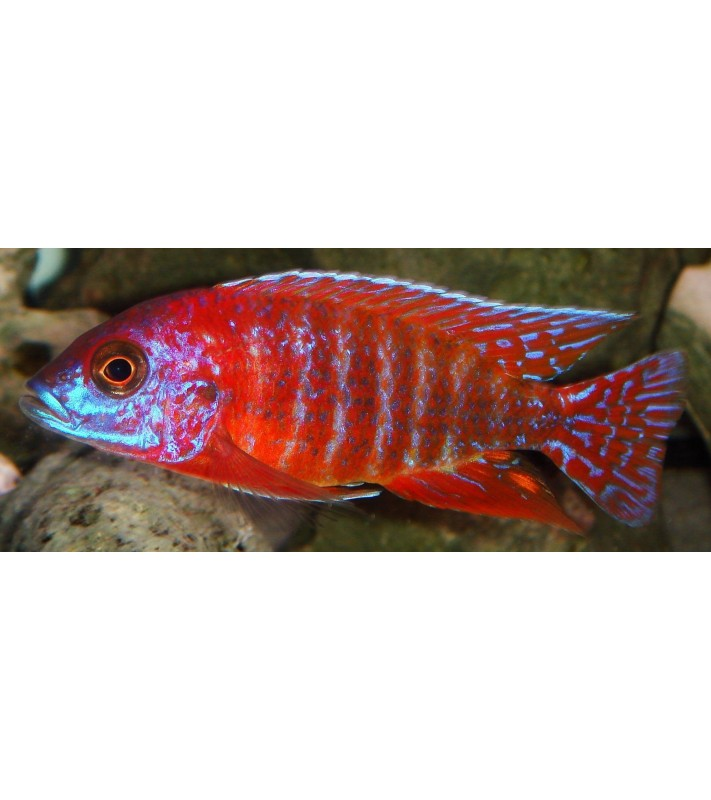 Aulonocara sp. Rubin Red