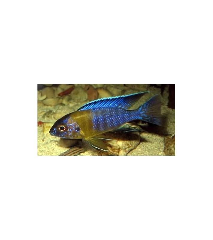 Aulonocara stuartgranti Galileya Reef