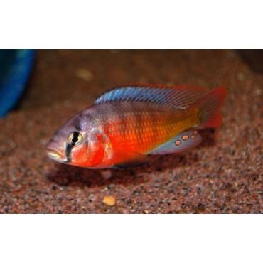 Paralabidochromis sauvagei Makobe