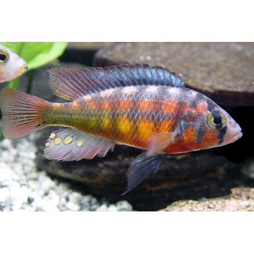 Haplochromis rockkribensis yellow red