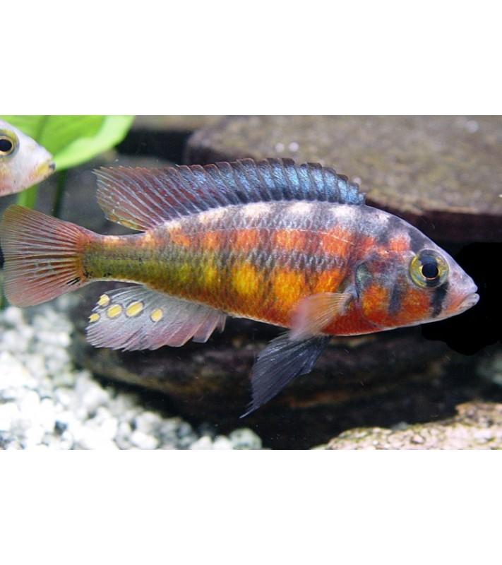 Haplochromis rockkribensis yellow red