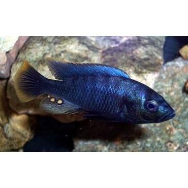 Haplochromis tipped blue Rusinga