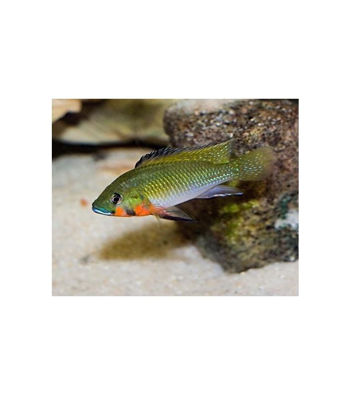Thoracochromis brauschi