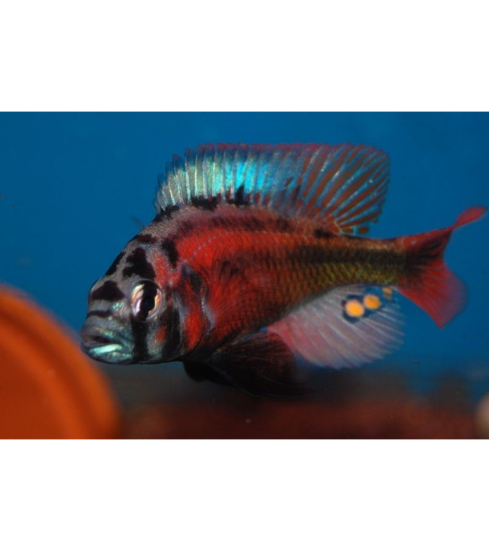 Haplochromis sp. Fire Red Uganda