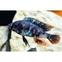 Haplochromis sp. Red Piebald O.B.