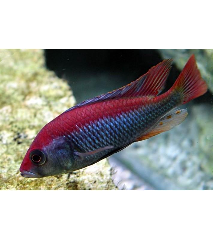 Haplochromis sp. Flameback