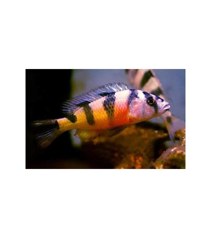 Haplochromis latifasciata