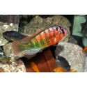 Haplochromis nyererei red head