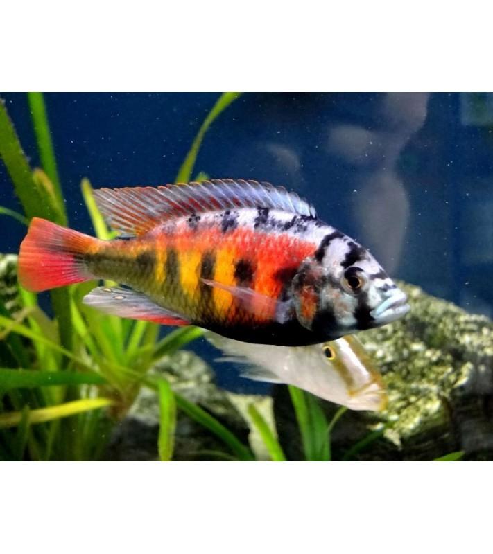 Haplochromis sp. Ch44
