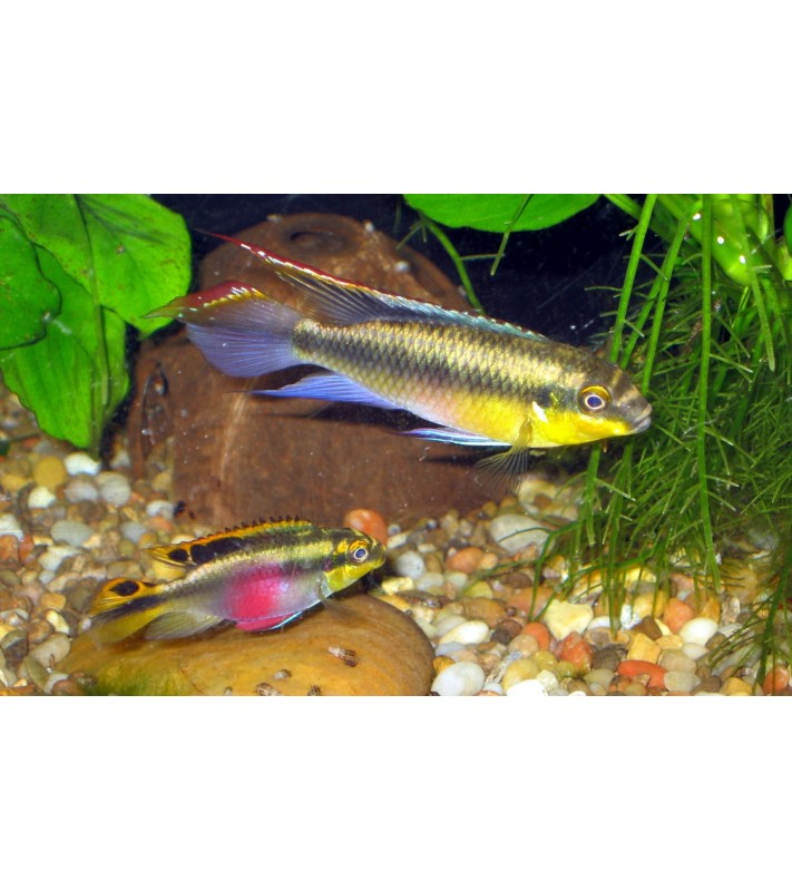 Pelvicachromis pulcher Yellow