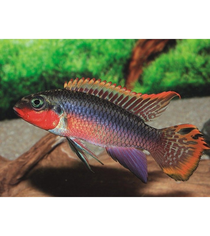 Pelvicachromis taeniatus Nigeria Red