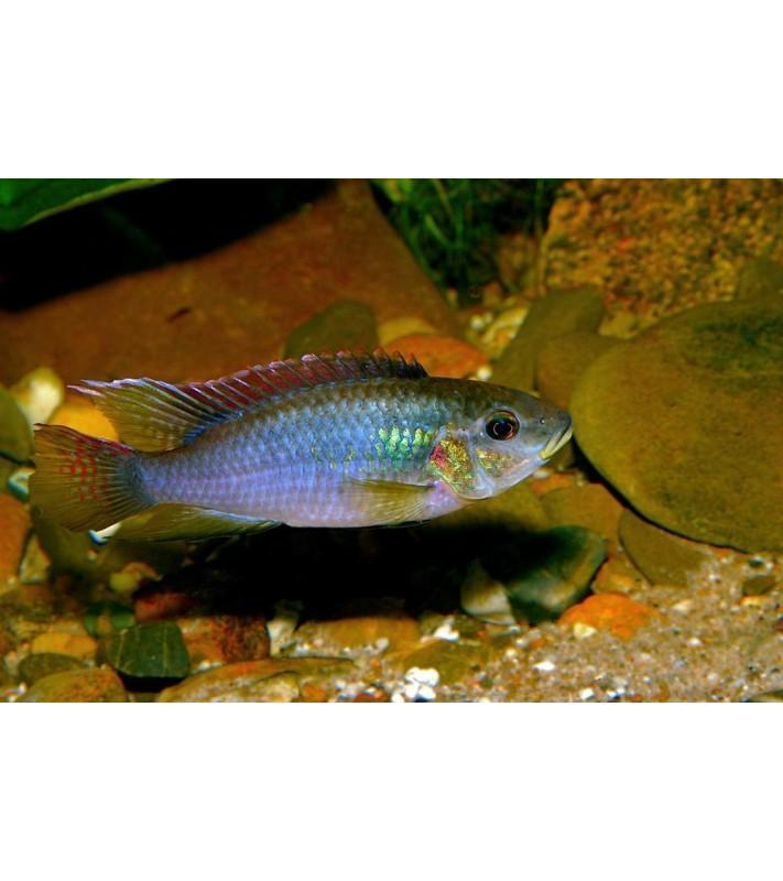 Benitochromis finley Mungo